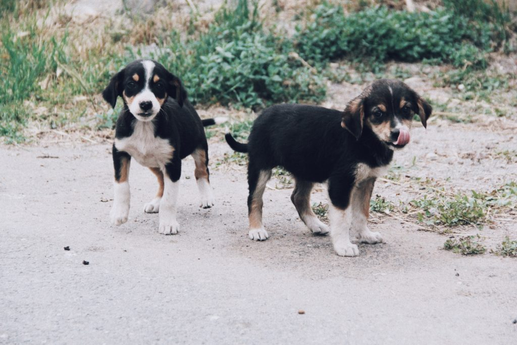 Puppies in the street