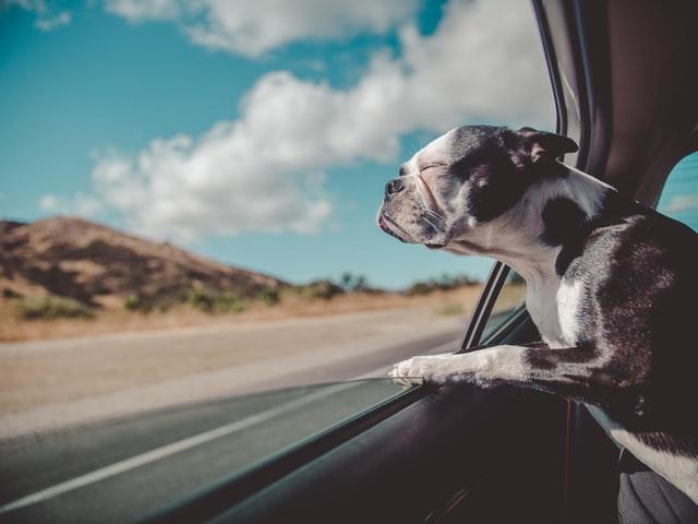 dog in car on road trip